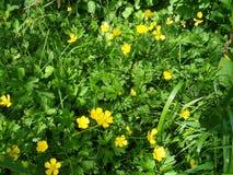 Botão de ouro na flor Foto de Stock