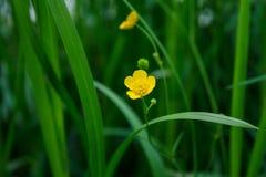 Botão de ouro na grama Foto de Stock Royalty Free