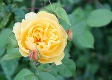 Botão de ouro-pêssego Rosa em um jardim irlandês fotos de stock
