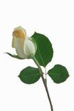 Botão de Rosa Imagem de Stock Royalty Free