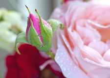 Botão de Rosa Imagens de Stock Royalty Free
