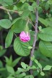 Botão de Rosa no arbusto do bosque fotografia de stock