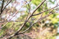 Botão de Sakura antes de florescer na mola Fotos de Stock Royalty Free