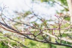 Botão de Sakura antes de florescer na mola Fotografia de Stock