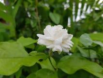 Botão de Sambac do Jasminum Fotos de Stock Royalty Free