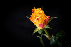 Botão de uma rosa com gotas da água Foto de Stock Royalty Free