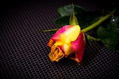 Botão de uma rosa com gotas da água Fotografia de Stock