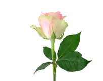 O botão de um cor-de-rosa aumentou Imagem de Stock Royalty Free