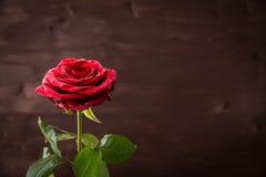Botão de uma rosa vermelha com gotas da água em um fundo escuro Fotografia de Stock