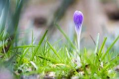 Botão de Violet Crocus, Luxemburgo Imagem de Stock Royalty Free