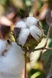 Botão do algodão imagem de stock