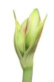 Botão do Amaryllis imagem de stock royalty free