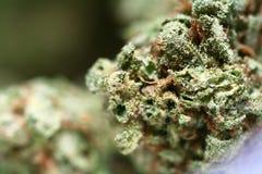 Botão do cannabis Imagem de Stock