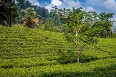 Botão do chá verde e folhas frescas As plantações de chá colocam em Nuwara Eliya, Sri Lanka Foto de Stock
