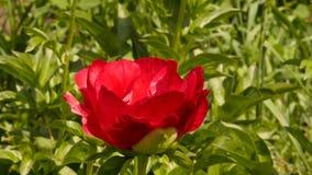 Botão do close-up da flor cor-de-rosa do chá que floresce na luz do sol Arbustos de flores cor-de-rosa do óleo cor-de-rosa em um  filme