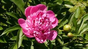 Botão do close-up da flor cor-de-rosa do chá que floresce na luz do sol Arbustos de flores cor-de-rosa do óleo cor-de-rosa em um  vídeos de arquivo