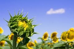 Botão do girassol sob o céu brilhante fotografia de stock royalty free