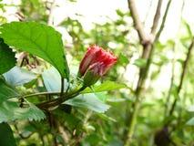 Botão do hibiscus imagens de stock