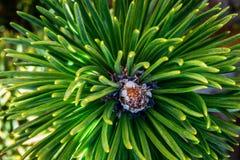 Botão do pinheiro Fotos de Stock