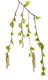 Botão do vidoeiro no fundo branco folhas do verde Fotografia de Stock Royalty Free