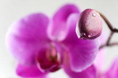 Botão e flor da orquídea no macio-foco Fotos de Stock Royalty Free