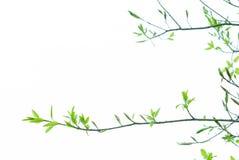 Botão e folha da árvore na mola foto de stock