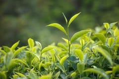 Botão e folhas do chá imagem de stock