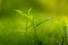 Botão e folhas do chá 2 em Moulovibazar, Bangladesh Imagens de Stock Royalty Free