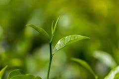 Botão e folhas do chá 2 em Moulovibazar, Bangladesh Fotografia de Stock
