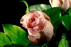 Botão molhado da rosa do rosa com as gotas da água que fluem para baixo Imagens de Stock Royalty Free