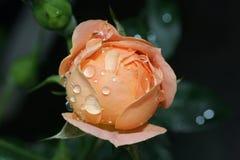 Botão molhado de Rosa Fotografia de Stock Royalty Free