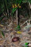 Botão redondo de Rafflesia no assoalho da floresta tropical, Khao Sok, Tailândia fotografia de stock
