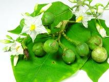 Botão selvagem do fruto da beringela Fotografia de Stock Royalty Free