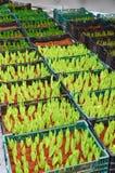 Botão verde jovem da tulipa Fotografia de Stock Royalty Free