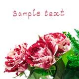 Botão Vermelho-Branco de Rosa das flores vibrantes Foto de Stock Royalty Free
