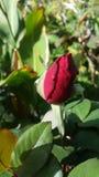 Botão vermelho de Rosa Fotos de Stock Royalty Free