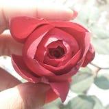 Botão vermelho de Rosa fotografia de stock