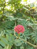 Botão vermelho de uma flor da flor em minha árvore do jardim é a melhor flor em india fotografia de stock royalty free