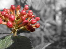 Botões 2 de Hydreangea foto de stock