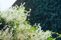 Botões brancos bonitos de florescência do arbusto com folhas verdes imagens de stock royalty free
