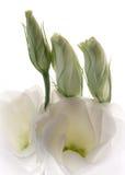 Botões brancos do lisianthus Fotos de Stock