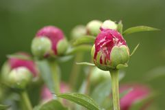 Botões cor-de-rosa do Peony Imagem de Stock Royalty Free