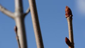 Botões da árvore do Conker na mola adiantada video estoque