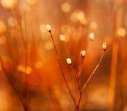 Botões da erva daninha na luz do sol Fotografia de Stock Royalty Free