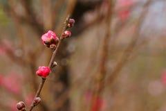 Botões da flor do pêssego do jardim da mola Fotos de Stock
