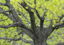 Botões da mola em torno do tronco de árvore Imagem de Stock