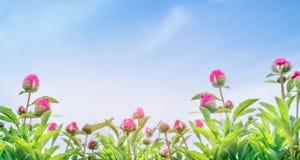 Botões da planta da peônia no fundo do céu azul, bandeira para o Web site Imagem de Stock