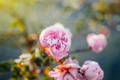 Botões das rosas pequenas elegantes cobertas com os flocos de neve Imagem de Stock