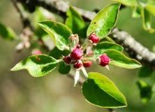 Botões de árvores de fruto Imagens de Stock Royalty Free