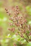Botões de Bush lilás na mola Fotografia de Stock